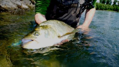 aspe,rhin,mouche,dreamfish,ken from elsass